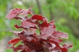 Copper_Beech_MACRO