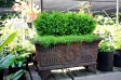 Boxwood_Display