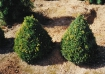Buxus_Conica