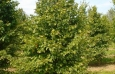 carpinus_betulus_tree