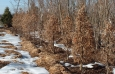 carpinus_c_fastigiata__winter