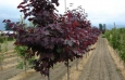 cercis_canadensis_forest_pansy