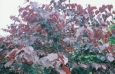 cercis_canadensis_forest_pansy2