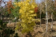 gingko_biloba_fall_gold