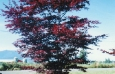 acer_palm_bloodgood