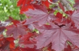acer_platanoides_crimson_king_leaf