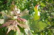 acer_rubrum_leaves
