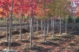 acer_rubrum_red_sunset