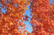 acer_saccharum_fall