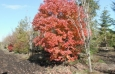 Red Maple Clump