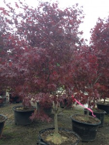 Japanese Bloodgood Maple