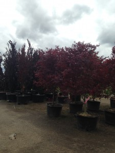 Japanese Bloodgood Maples and Beech