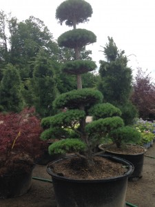 Sculpted Pine Topiary