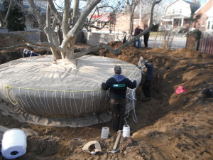 Large Magnolia Dig - wrapping root ball