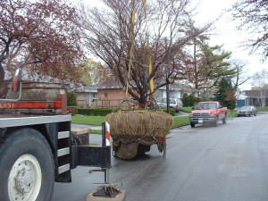 Japanese Maple being moved from a home