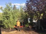 White Pine, Assorted tree planting